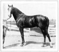 "CLAY KISMET, ""Grandson of Kismet and Linden Tree."" was one of the horses sold at auction in 1906; by reconstruction from Huntington's 1895 stock list, he must have been a son of *NIMR out of CLAYRABIA."