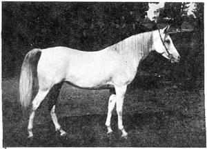 *H.H.Mohamed Ali's Hamama 1927 AHC 887 (Kawkab x Mahroussa)