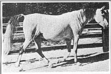 *Maaroufa 1931 AHC 895 (Ibn Rabdan x Mahroussa)