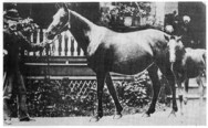 *Nazli 231, 1895 photo. Foaled in 1888, 14-3 hands; by Maidan and out of *Naomi. Bred by F. Furse Vidal, England; imported by Randolph Huntington in 1893 (filly Naarah by Anazeh).