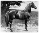 Nimr No. 252, red chestnut Arabian stallion, 15-1 hands high. Imported from England by Randolph Huntington in 1891, Nimr was bred to his grand-dam, Naomi (15-2 hands) to produce Khaled (15-3 1/2). Picture by George Ford Morris.