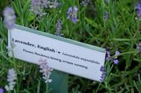 Shaker Lavender