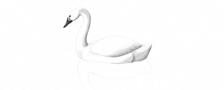 how to draw reflection of a swan