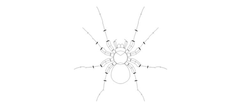 spider drawing middle segment width