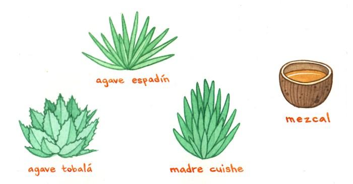plantas mezcal