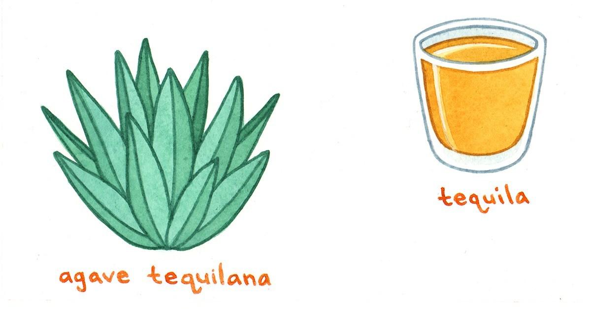 La tequila n'est préparée qu'à partir d'une seule espèce d'agave, l'agave tequilana