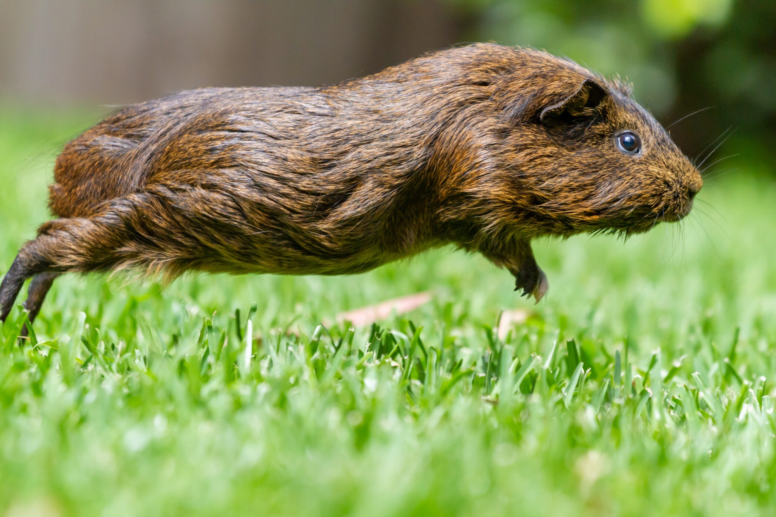 A guinea pig leaping through the grass