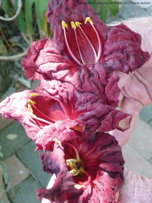 Kigelia Pinnata flower