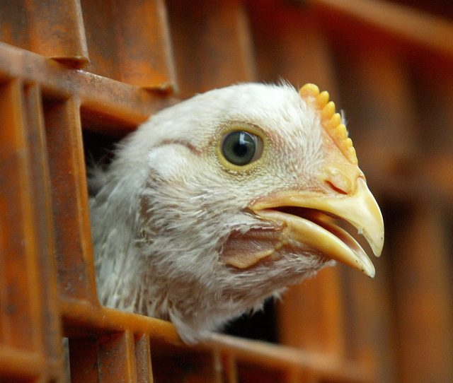 Will Post Brexit Uk Swallow Americas Chlorinated Chicken For A Trade Deal