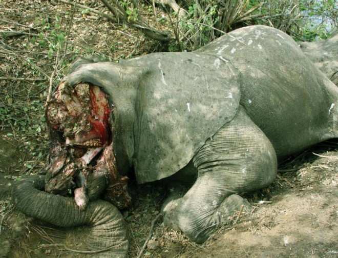 Poached-African-Elephant-SOFREP-ak47