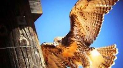 Icarus, Brother Hawk (part II)