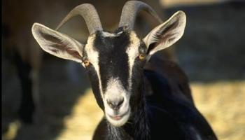 """Live animals used in military medical training """"Goat Lab"""" under fire from Congress"""