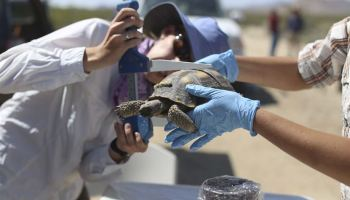 OP-Ed: The Marine Corps is relocating more than a thousand desert tortoises, and I hate every one of them