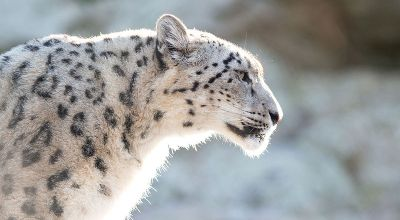 A quiet power: The time I saw a wild snow leopard in Pakistan