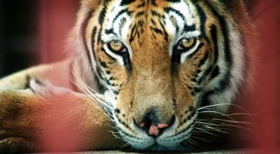 Violence in Myanmar rises, tiger population plummets