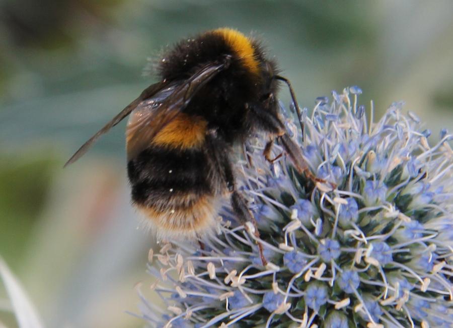 thistle_bumblebee