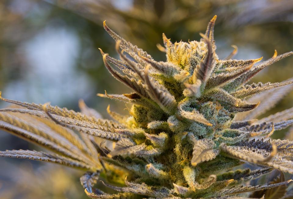 Aurora Cannabis ACB Stock News