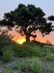 Tree and Sunset at the Cabrillo National Monument Foundation