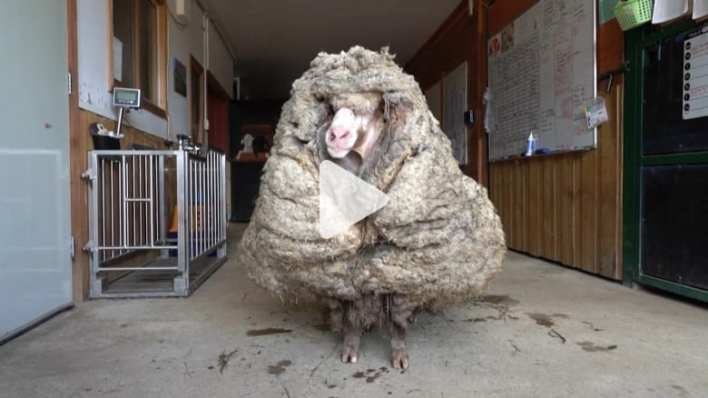 "Wandered for years in the bush ... a sheep with more than 30 kilograms of wool receives ""new hairstyle"""