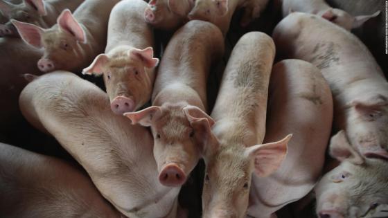 The FDA aprueba for consumo cerdo genéticamente modificado