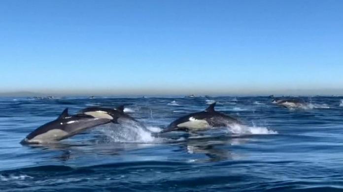 California Dolphin Nature Show