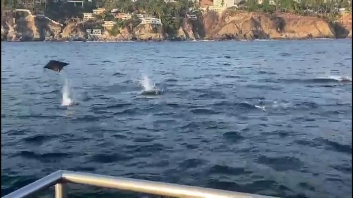 A group of stingrays surprises tourists in Acapulco