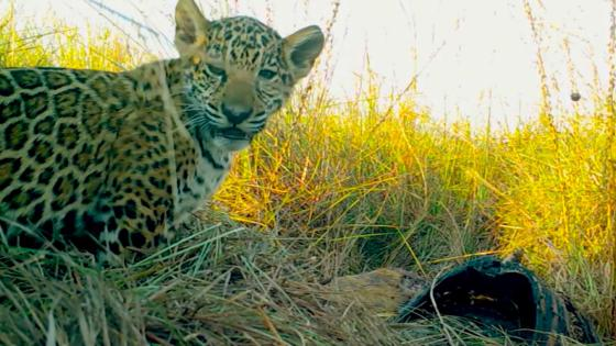 They reintroduce a family of jaguars to Argentina