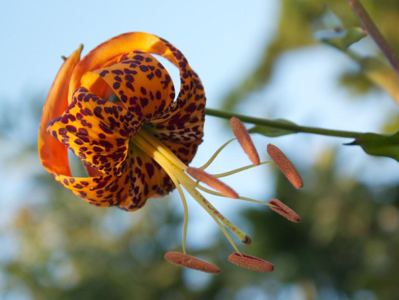 Lilium humboldtii, Humboldt's Lily