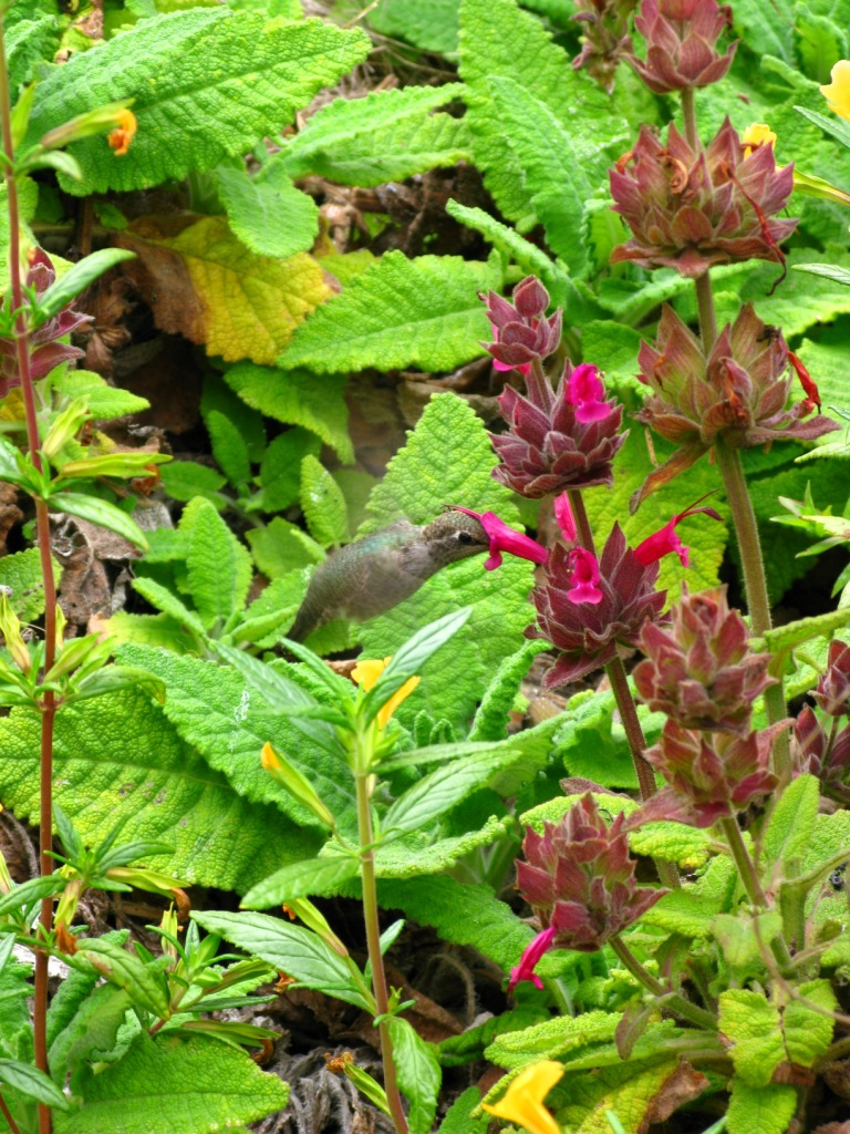 Anna's Hummingbird on Salvia spathacea with Mimulus aurantiacus
