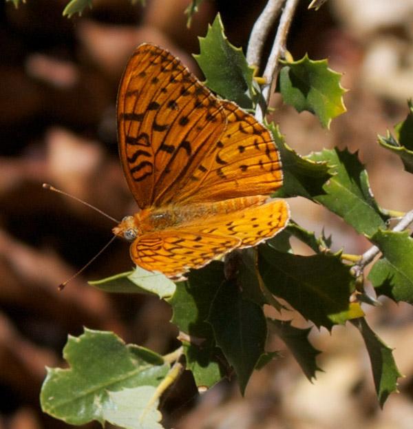 Pt. Reyes Ceanothus (Ceanothus gloriosus)