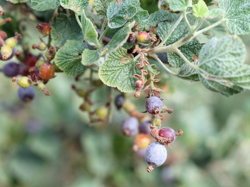 Gooseberry. Credit Dennis Mudd.