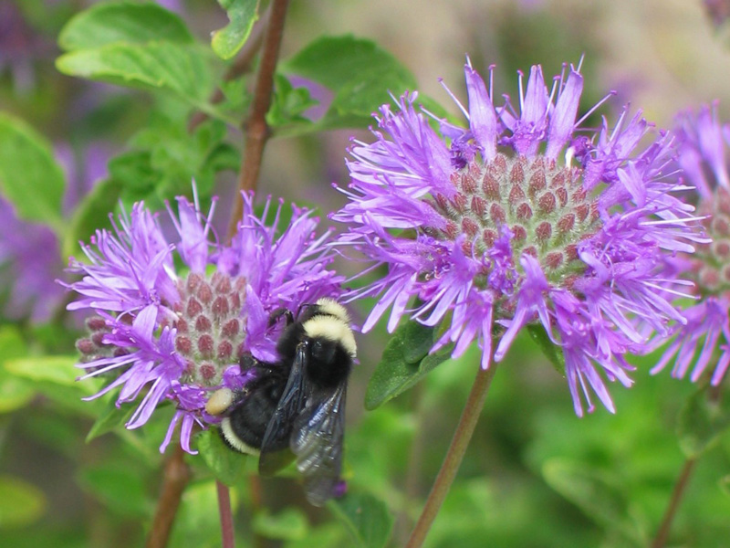 Bees on mondardella. Credit Brad Jenkins.
