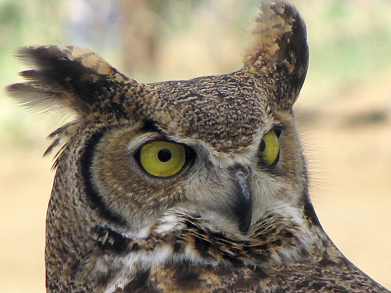 Great horned owl. Credit Jim Wadsworth.
