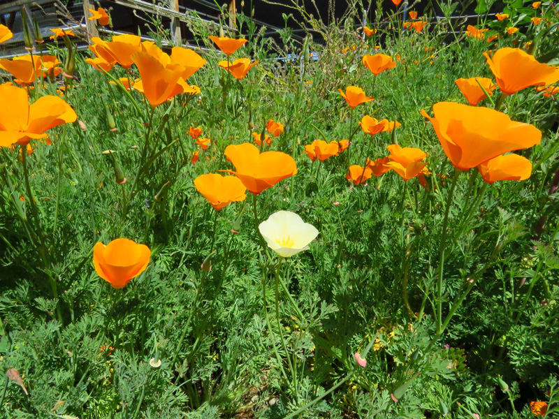 Poppies at Elderberry Farms. Credit Jim Wadsworth.