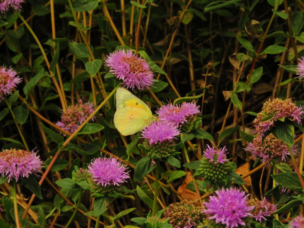Alfalfa butterfly on Coyote mint. Credit Jim Wadsworth.
