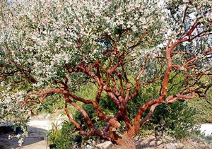 Arctostaphylos 'Lester Rowntree' pruned to show striking bark.