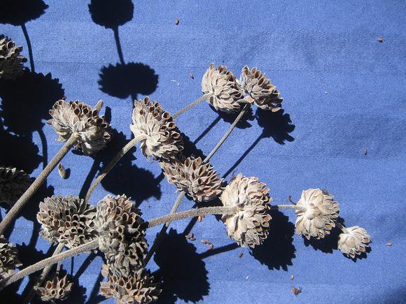 Ripe seedheads of Salvia leucophylla.