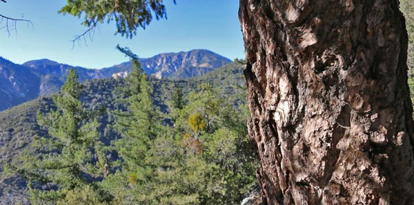 Bigcone bark and views across the San Gabriel Wilderness.