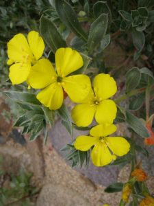 Beach evening primrose (Camissonia cheiranthifolia) Photo: Laura Camp
