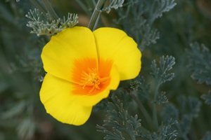 Coastal California poppy (Eschscholzia maritima) Photo: Tracy Drake