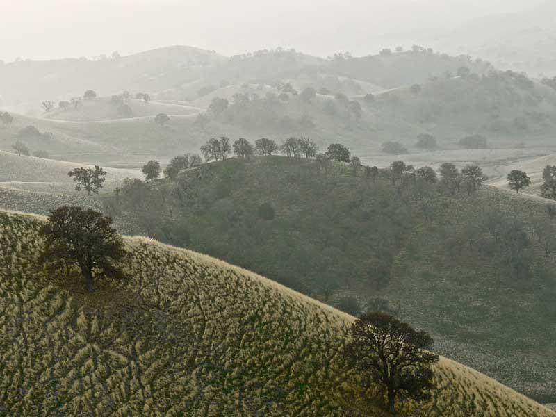 Oaks in Winter Mist