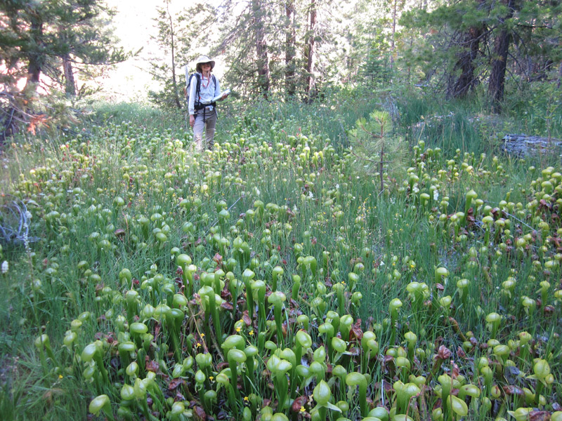 A stand of pitcherplant