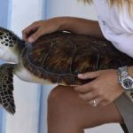 First-ever release of turtles in Cayman Brac