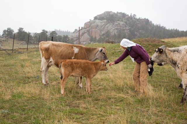 Sister Maria Walburga Schortemeyer, ranch manager at the Abbey of St. Walburga, reaches out to a calf in a pasture near the abbey in Virginia Dale, Colo. Along with running the ranch, the community of 24 Benedictine nuns also maintains a retreat house for individuals and groups who wish to spend one or more days in prayer and contemplation. (CNS/Jim West)