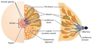 Breasts | Contemporary Health Issues