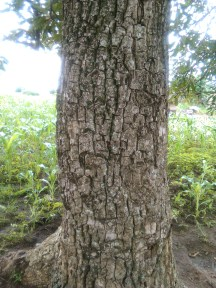 Shea nut tree stem; ideal for firewood
