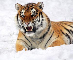 tigre-colere-defense
