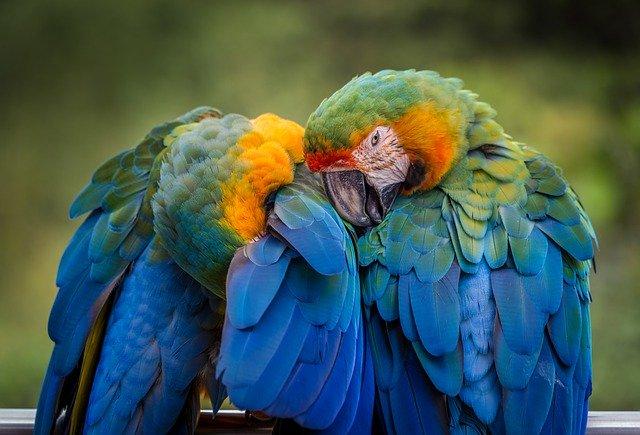 zwei bunte Papageien flirten miteiannder Sympathie blockiert die Kommunikation