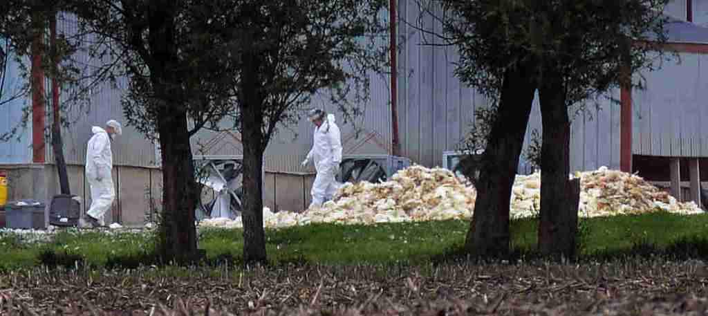 Men in hazardous materials suits load dead poultry to be buried at Rose Acre Farms Inc., just west of Winterset, Iowa, on May 11. John Gaps III/AP