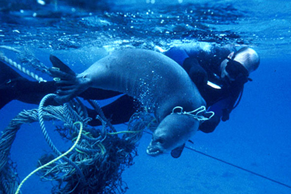 Entangled seal by derelict net
